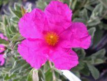 Cistus pulverulentus, arbuste persistant au feuillage gris et à la floraison rose de mai à juillet.