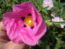 Cistus purpureus, arbuste persistant à floraison rose vif d\'aspect papier crépon au printemps.