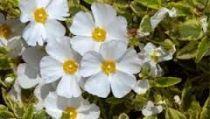 Cistus corbariensis Little Miss Sunshine