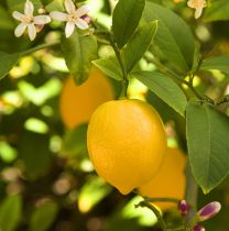 Citrus * limon Meyer - Citronnier