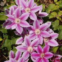 Clematis \'Nelly Moser\'