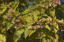 _MG_8619, petit arbre au feuillage caduc vert glauque et aux fleurs blanc rosé en été. Fruits bleu en fin d\'été