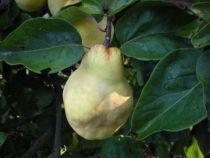 Cognassier \'Géant de Vranja ou Cydonia\' Arbre fruitier caduc à feuille verte et aux fruits vert clair en automne.