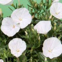 Convolvulus mauritanicus White
