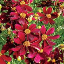 coreopsis-red-Elf