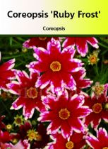 Coreopsis verticillata  \' Ruby Frost \'