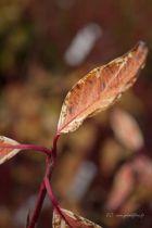 Cornus * alba \'Elegantissima\' = Eurodogwoods