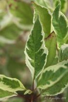 Cornus alba \'Ivory Halo\', arbuste caduc au feuillage vert marginé de blanc et au bois rouge en hiver.