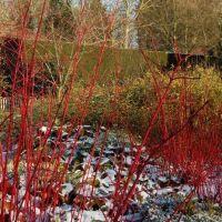 Cornus Sibirica ou Cornouiller à bois rouge, arbuste très décoratif en toute saison et surtout l'hiver.