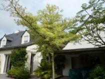 cornus contreversa variegata ou cornouiller. Gros arbuste de jardin à port étalé très décoratif et aux feuilles panachées blanches.