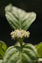 Cornus stolonifera flaviramea, arbuste caduc au feuillage vert et aux fleurs blanches au printemps suivies de fruits blancs. Bois très décoratif jaune vif en hiver.
