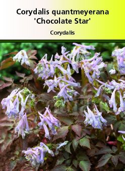Corydalis quantmeyerana \' Chocolate Star\'