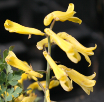 Corydalis wilsonnii \'Canary Feathers\'