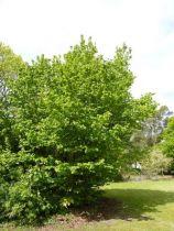Corylus avellana, gros arbuste caduc à feuilles rondes vertes et aux chatons jaunes pendants en fin d\'hiver, début de printemps. Noisettes comestibles regroupées par 4.