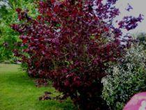 Corylus maxima purpurea, gros arbuste à feuillage caduc pourpre, châtons pourpres en février mars, noisettes rouge brunâtre.