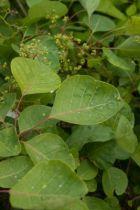 Cotinus coggygria, arbuste caduc à feuilles vertes (couleurs d\'automne, rouge orangé) et inflorescences vaporeuses roses en été.