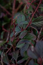 Cotoneaster* dammeri