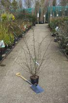 Cotoneaster* franchetii