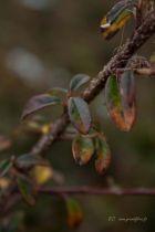 Cotoneaster dammeri \'Skogholm\'