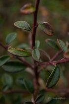 Cotoneaster dammeri \'Skogholm\', arbuste persistant rampant à floraison blanche au printemps et à fruits rouges à l\'automne.