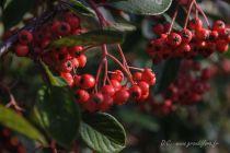 Cotoneaster lacteus, arbuste persistant à feuillage vert et aux fruits rouges foncés en grappe pendant l\'hiver.