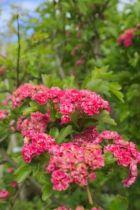 IMG_6780, petit arbre au feuillage caduc vert et aux fleurs rouge lumineux au printemps.