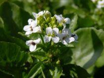 Cresson des Fontaines - Nasturtium officinalis