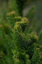 Cryptomeria japonica \'Cristata\'