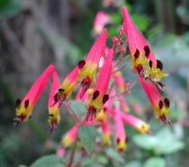 Cuphea Cyanea Colombine Pink G8/P9