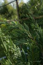 Cupressocyparis leylandii, conifère de haie taillée ou libre à feuillage dense et persistant vert.