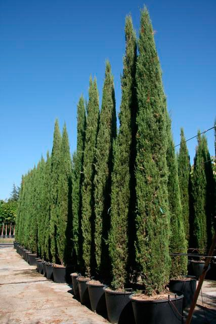 cupressus sempervirens stricta grandiflora. Black Bedroom Furniture Sets. Home Design Ideas