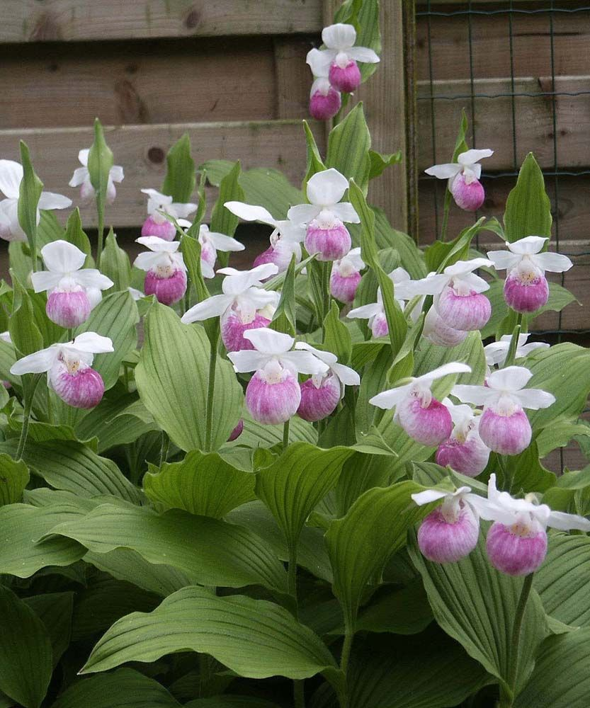 Cypripedium 39 reginae 39 ou orchid e vivace for Soldes plantes vivaces