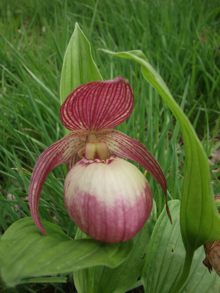 Cypripedium 39 sabine 39 ou orchid e vivace for Soldes plantes vivaces