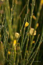 Cytisus praecox \'All Gold\'