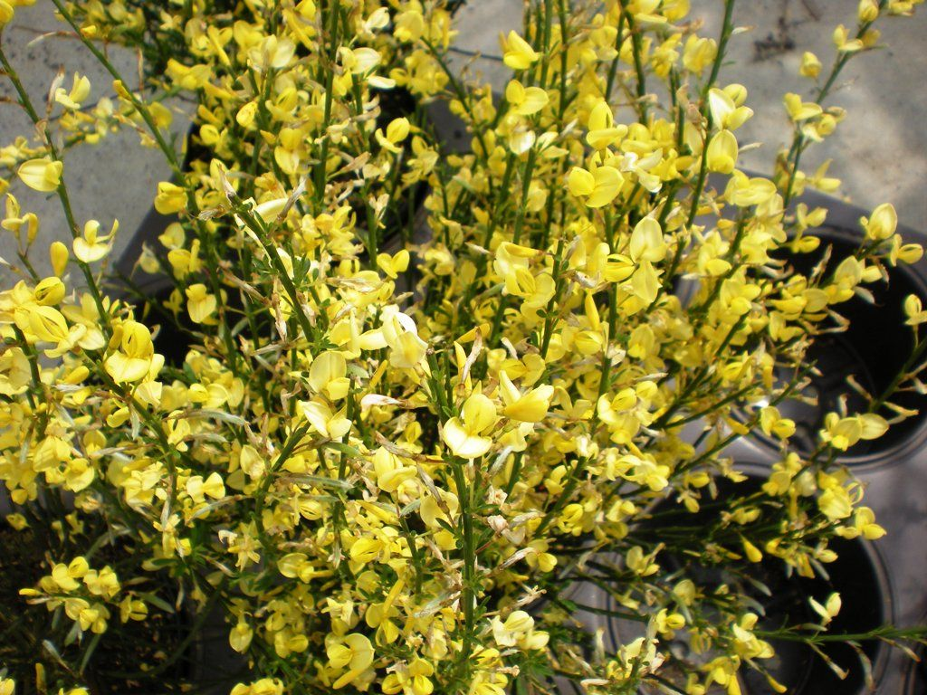 Cytisus praecox 39 all gold 39 - Arbuste fleurs jaunes printemps ...