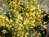 Cytisus all gold, arbuste caduc au feuillage vert et aux fleurs jaunes au printemps.