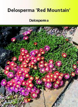 Delosperma 39 red mountain 39 ou ficoide vivace ou pourpier for Plante pour bordure plein soleil