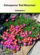 Delosperma \' Red Mountain \' ou ficoide vivace ou pourpier vivace, plante rampante pour les bordures ou rocailles de plein soleil