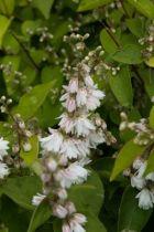 Deutzia scabra \'Pride of Rochester\', arbuste au feuillage vert caduc et aux fleurs blanc pur à revers rosé au printemps.