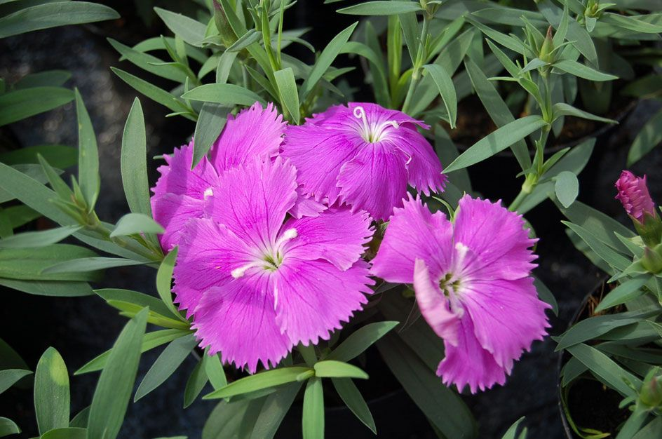 Dianthus chinensis 39 diana 39 for Soldes plantes vivaces