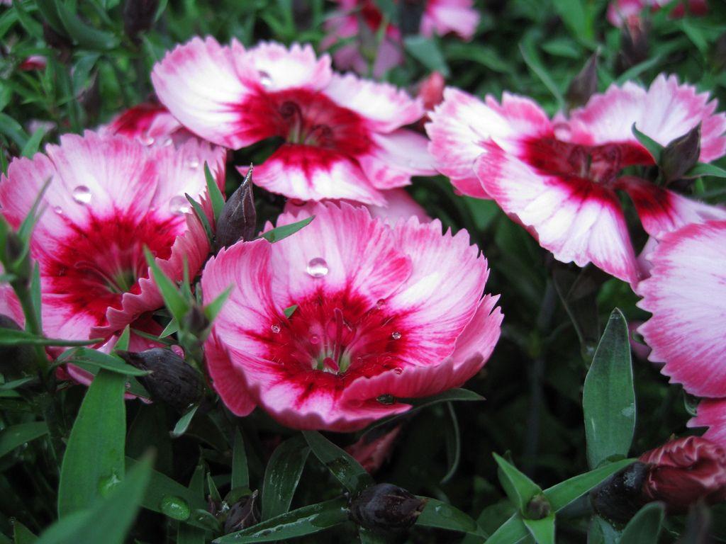 Oeillet de chine parfait grandiflora - Oeillet de chine ...