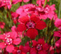 Dianthus deltoides \'Brilliant\'
