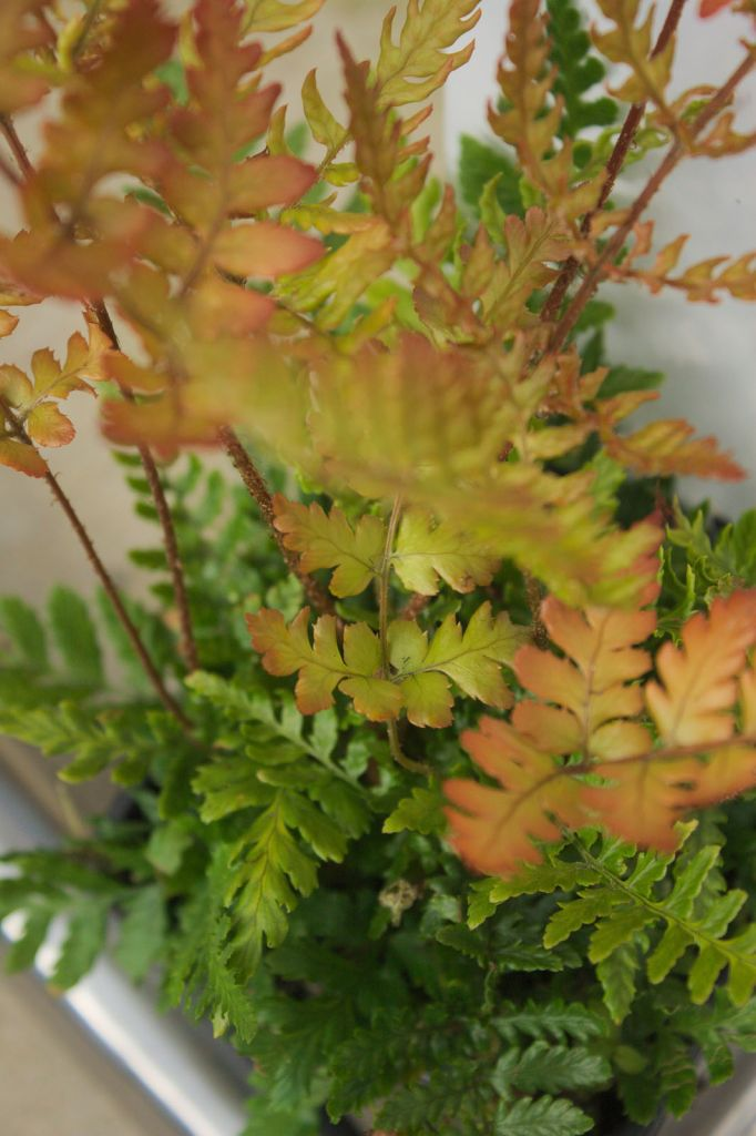 Dryopteris erythrosora 39 prolifica 39 ou foug re for Soldes plantes vivaces