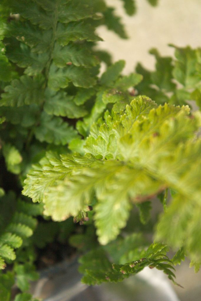 Dryopteris filix mas ou foug re for Soldes plantes vivaces