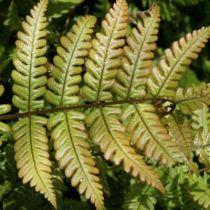Dryopteris lepidopoda