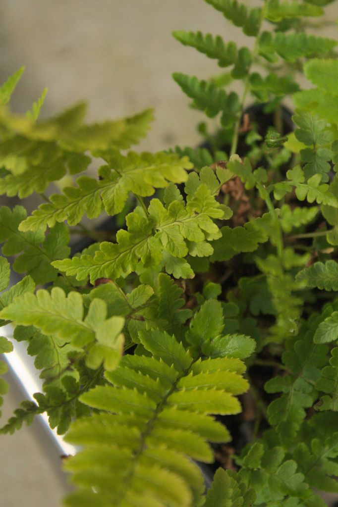Dryopteris marginalis ou foug re for Soldes plantes vivaces