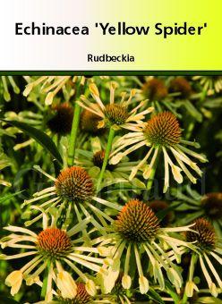 Echinacea \' Yellow Spider \'