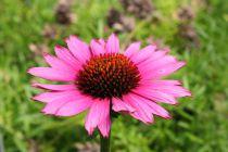 Echinacea purpurea \'Fatal Attraction\'
