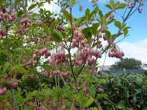 Enkiantus campanulatus, arbuste caduc à la belle floraison en grappes pendantes dans les tons jaune à rosé en mai, pour une exposition au jardin ombragée.