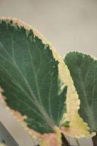 Eryngium planum \' Jade frost \'